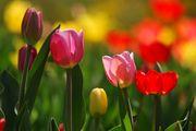 Tulpenblüten-Festwoche 28.4. - 5.5.2019 | 26.4. - 3.5.2020