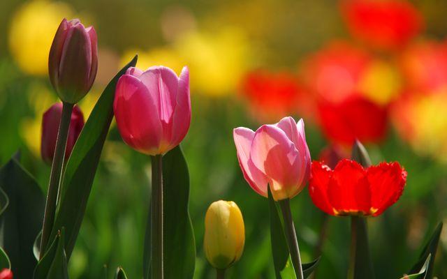 Tulpenblüten-Festwoche 28.4. - 5.5.2019 1/1