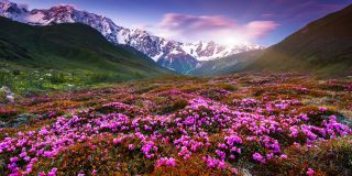 Alpine roses & mountain pastures