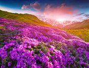 Alpine roses & mountain pastures