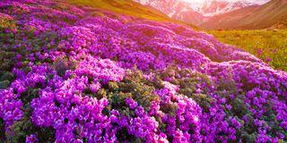 Rose alpine e prati montani