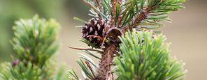 Stone pine peeling & pack