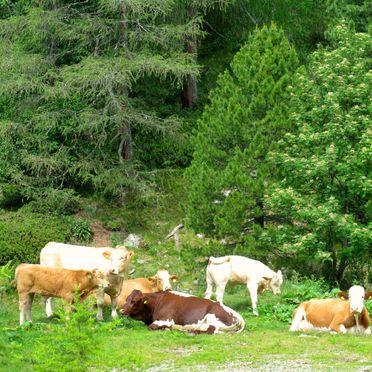 Kühe, Turracher Hütte in Ebene Reichenau - Turracher Höhe, Kärnten, Kärnten, Österreich