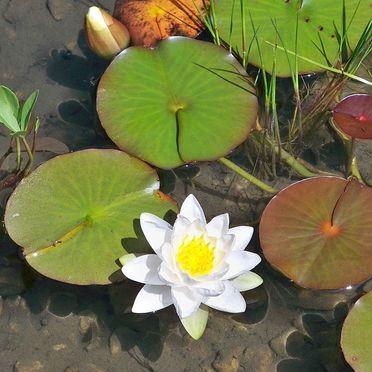 Bergchalet Klausner Die Hütte, Water Lilies