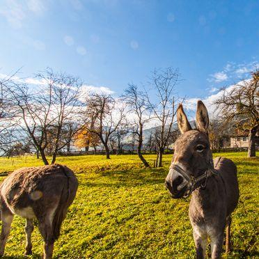 Esel, Stollenberghütte, Fügenberg, Tirol, Tirol, Österreich