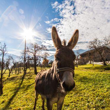 Donkey, Stollenberghütte, Fügenberg, Tirol, Tyrol, Austria