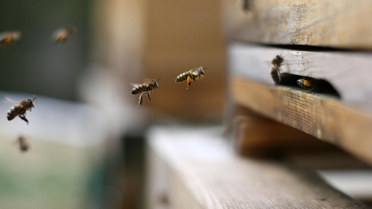 Werdenfelser bee spring